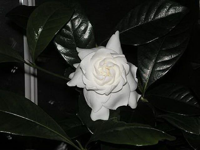 how to take care of a gardenia plant indoors
