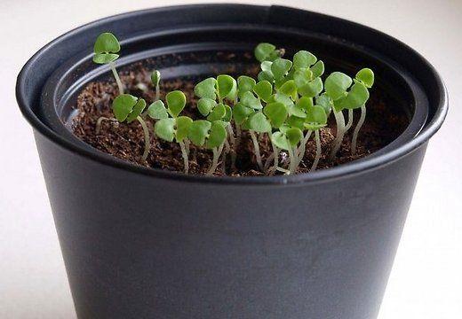 Basiilikut on lihtne kasvatada potis köögi aknalaual. Uue külvi võib teha ühe-kahe nädala tagant.