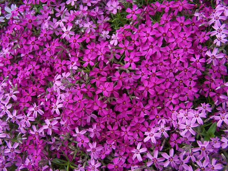 Phlox subulata moss phlox moss pink mountain phlox is for Perennial ground cover with pink flowers