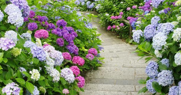 mixed  hydrangeas: Growing Hydrangeas, Heart Hydrangeas, Annabell Hydrangeas, Hydrangeas Mixed, Hydrangeas Ahhhhhh, Mixed Hydrangeas, Hydrangeas Border, Hydrangeas Bush, Hydrangeas Paths
