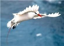 Marine Adventures - North Bay Turtle & Nature Tour Red tailed-tropic bird  www.lordhoweisland.info