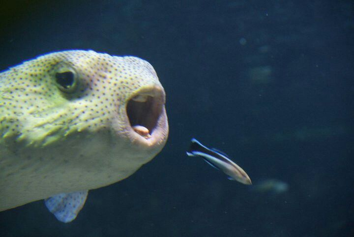 Cleaner wrasse and a puffer fish seattle aquarium omg for Puffer fish aquarium