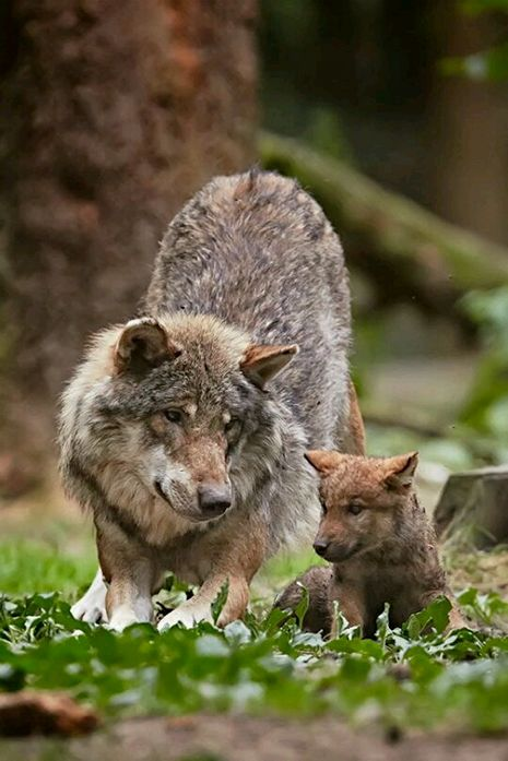 Wolf Cub w Mother