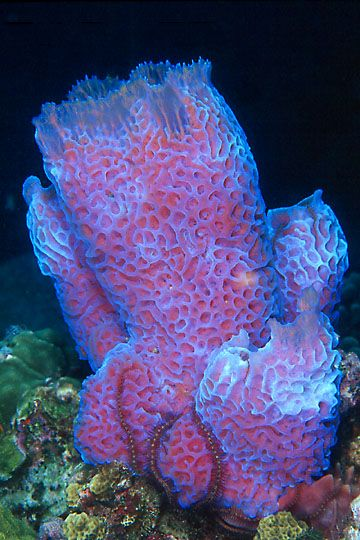 Azure Vase Sponge One Of The Most Colorful Sponges In The World Shaped Like A Vase With Many