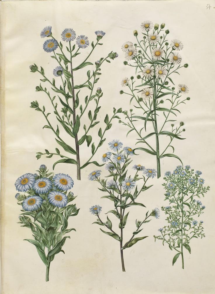 Aster amellus; Aster novae-angliae; Aster ericoides, KKSgb2950/54