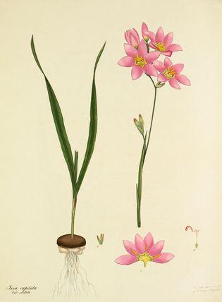 'Ixia capitata var. stellata' -- Illustrations -- Flowers -- RHS Prints