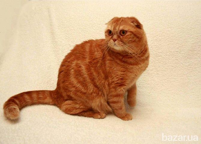 Шотландская вислоухая кошка Киев - изображение 1