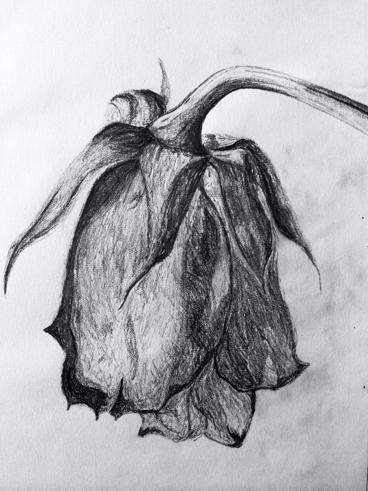 sketch of a wilted rose in 2019