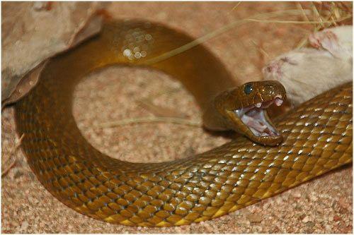 Las 5 serpientes mas venenosas del mundo | LaReserva