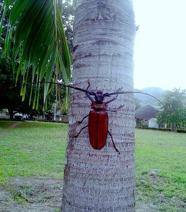 Escarabajo Titan, el escarabajo mas grande en Suramérica