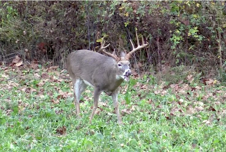 The best brassicas for deer food plots food plots for