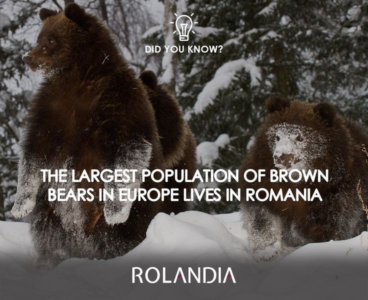 There are approximately 5,000 brown bears in the Carpathian regions of Romania.  #DiscoverRomania #Travel #Bears