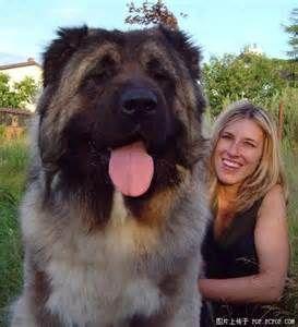 Russian Caucasian Mountain Dog =Huge Fluffy Baby!!
