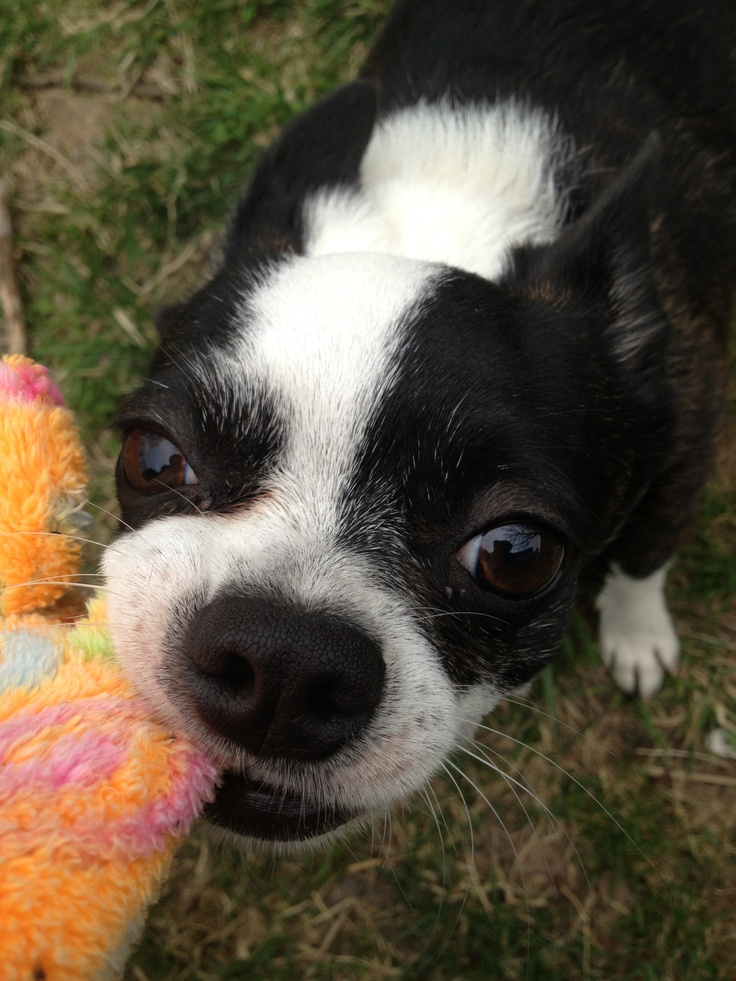 78 Best Images About Bochi Dogs On Pinterest Chihuahuas