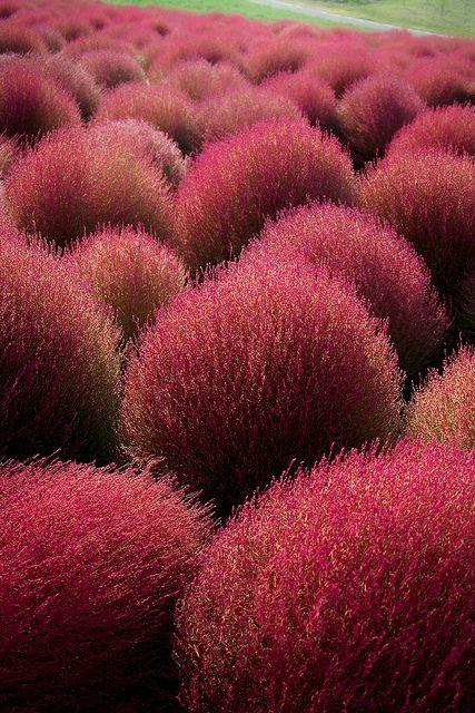 Kochia field at Hitachi seaside park, Hitachinaka, Ibaraki, Japan