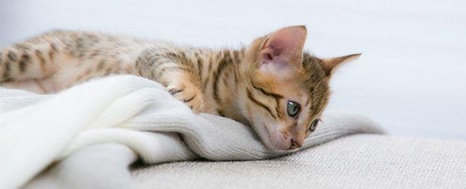 Allergies et régime alimentaire du chat