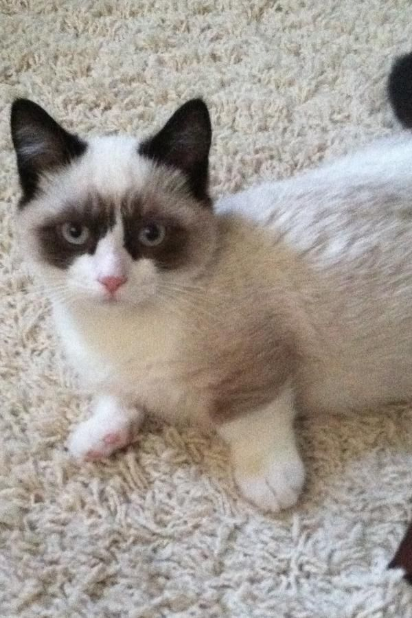 Best Ragdoll Cats And Munchkin Cats Images On Pinterest Cats - Meet albert the cutest munchkin cat on the internet