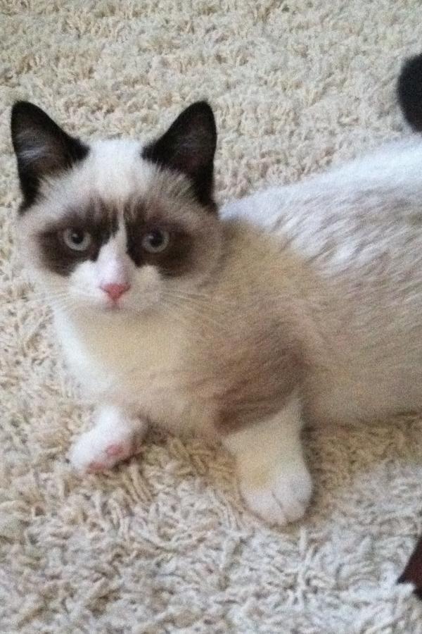 Munchkin Napolean Odd Eyes Dwarfs And Long Legs Munchkin Cat Cat Breeds Cute Cats