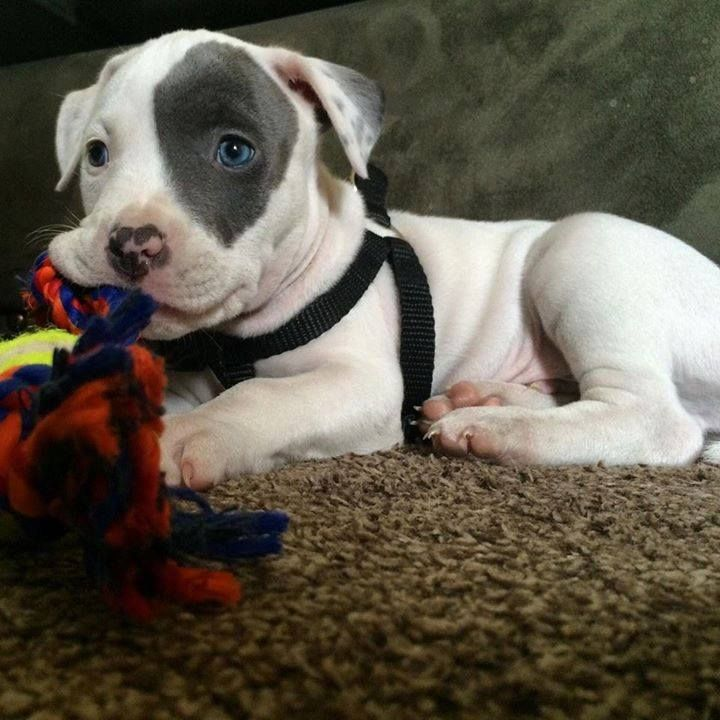Today S Adorable Puppy Is A Baby Pitbull With An Unusual Eye