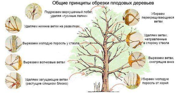 Принципы обрезки плодовых деревьев.