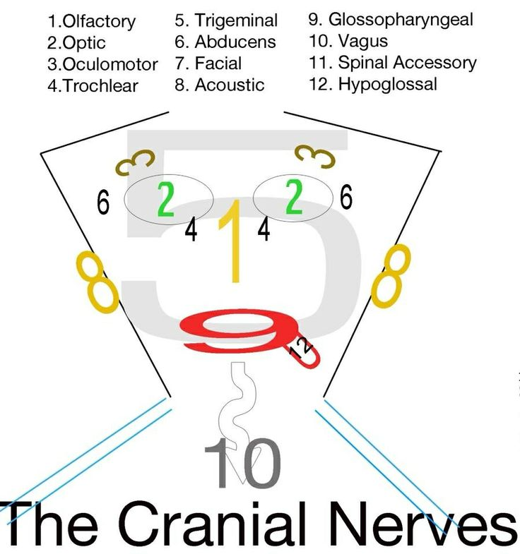 Acronym for the 12 Cranial Nerves | Scientist Solutions
