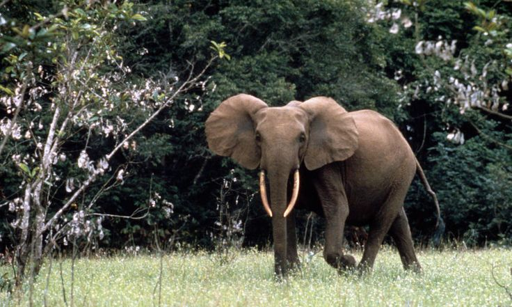 Forest_Elephant_7_30_2012_hero_and_circle_HI_8480
