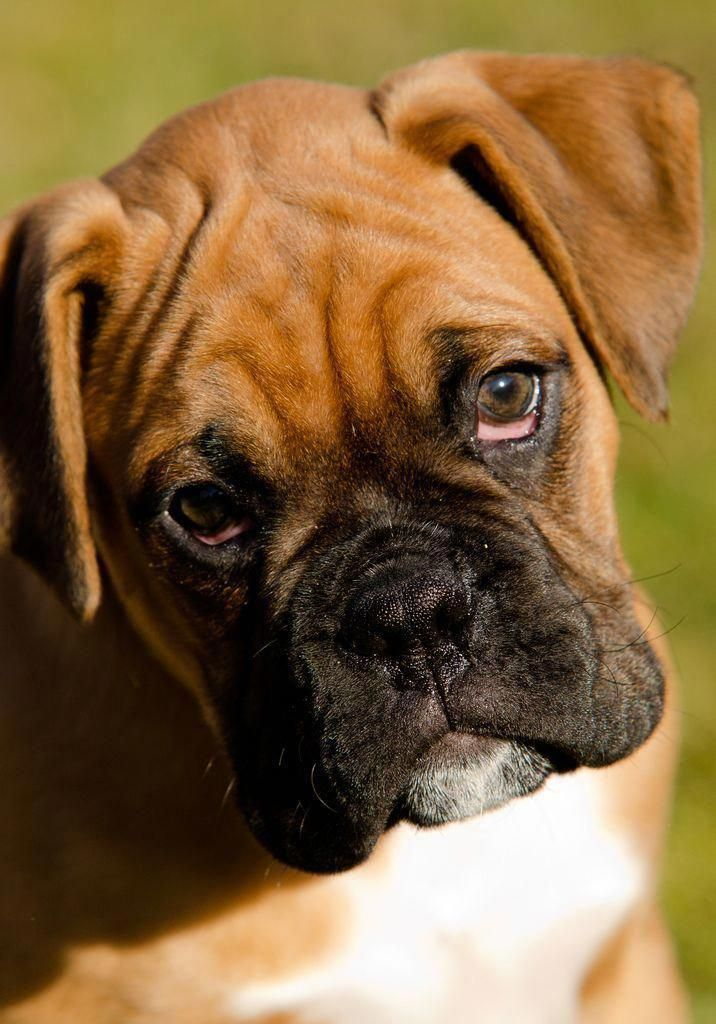 How to Train a Puppy: A Dog Training Guide #boxers…