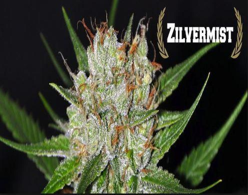 Zilvermist Feminised Cannabis Seeds