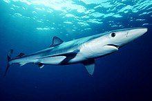 Blue shark - Wikipedia