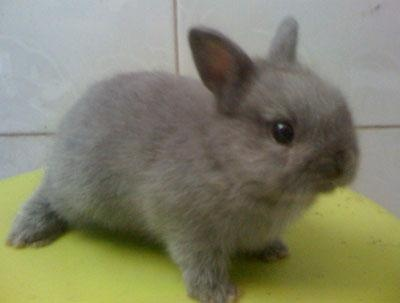 Netherland Dwarf bunny...if I don't get a black lab after I graduate and have the time, a bunny is definitely happening.