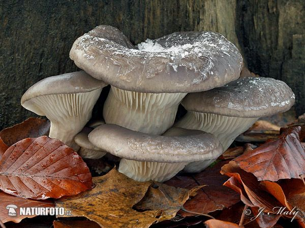 Oyster Mushroom Mushroom Pictures, Oyster Mushroom Images | NaturePhoto
