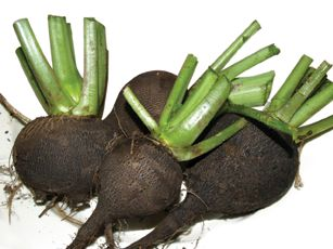 Black Radishes and other ethnic produce are available at #YummyMarket  Read about a new trend taking root: http://bit.ly/1T0MbiW