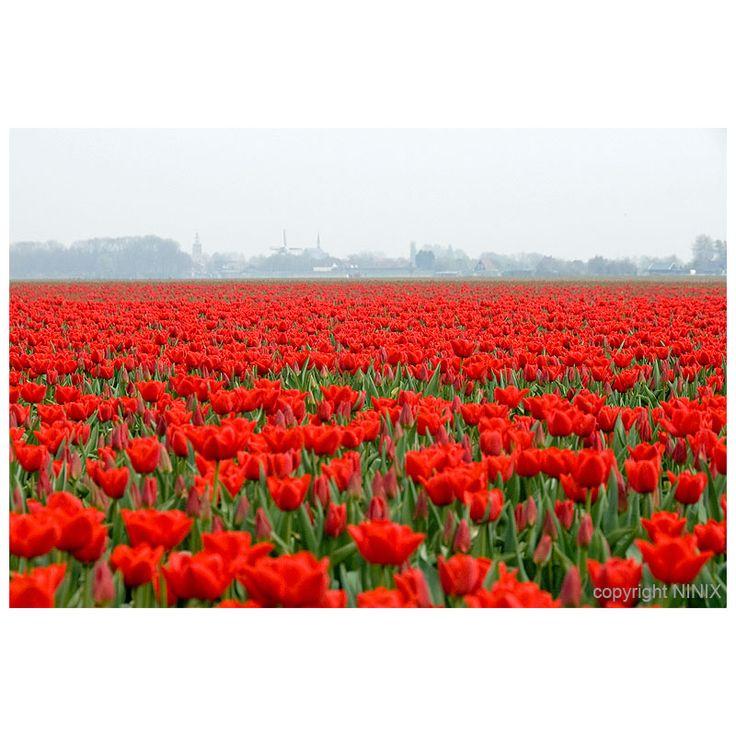 tulip time in Holland 2009 - Nieuwe-Tonge, Zuid Holland  Username: ninix  Horizontal lines