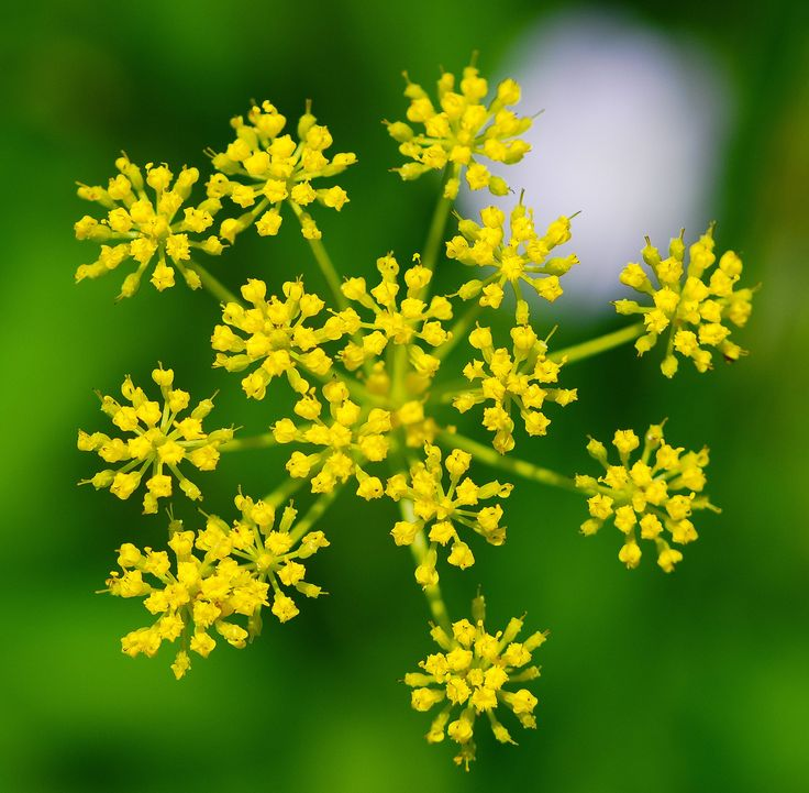 For those who are planning to go outdoors in Iowa, authorities issued a warning of the wild Parsnip plants that are sprouting across the state. Be Warned.