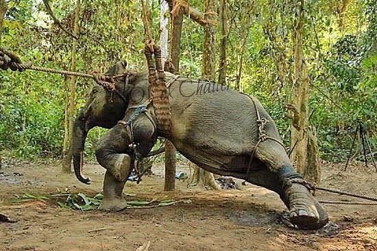 """Elefantit ovat majesteettisia ja ihania eläimiä, ja on jännittävää päästä niiden lähelle ja ratsastaa niillä. Harvat kuintekaan tietävät, mitä ne joutuvat kokemaan """"koulutuksen"""" aikana."""