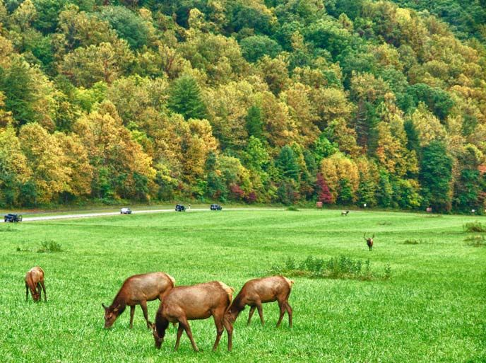 Elk graze in the field near Oconaluftee Visitor Center. Oct. 10 Smokies Fall color...considering a trip though I should save for London