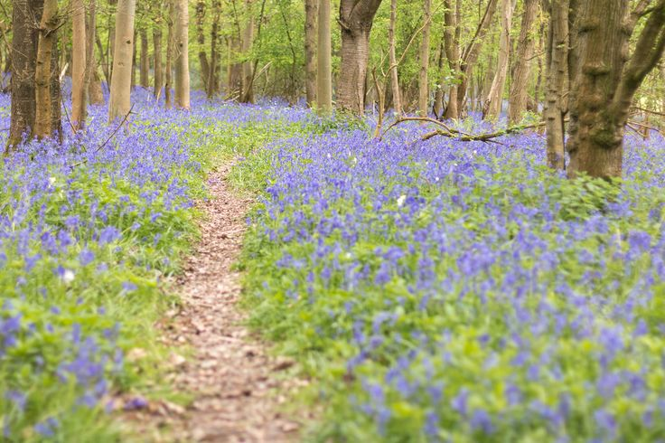 oandrews posted a photo:  Another narrow path in Southwick Wood, and bluebells through the trees as far as you can see.