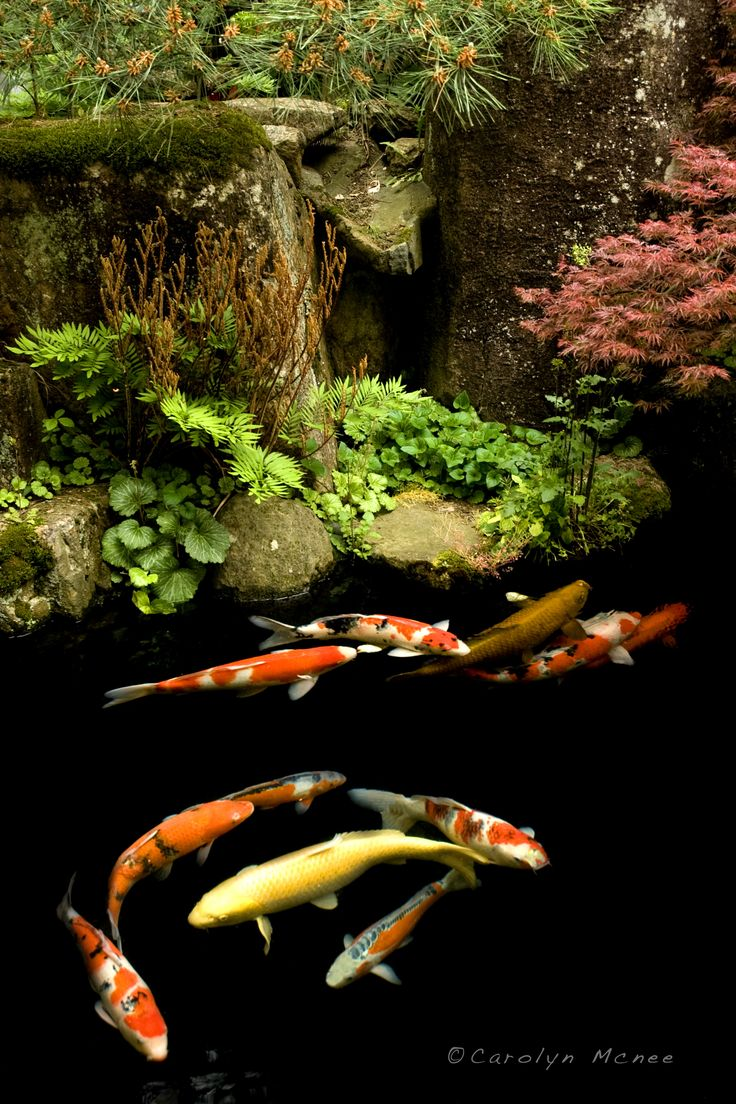 200 best my pond images on pinterest for Japanese garden san jose koi fish