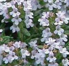 Medicinal uses for Thyme