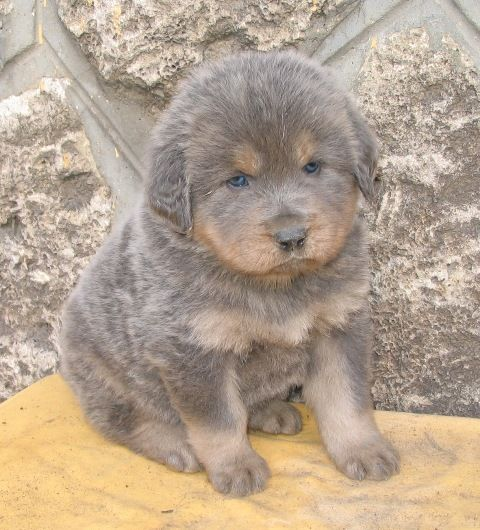 Tibetan Mastiff Dog Puppy Dogs Puppies.. Someone please get me an all brown one so I can name him Ludo!