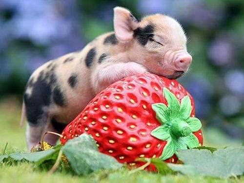 A small pig resting on a large, ceramic strawberry.