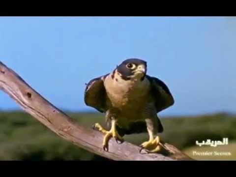 Faucon hobereau - YouTube