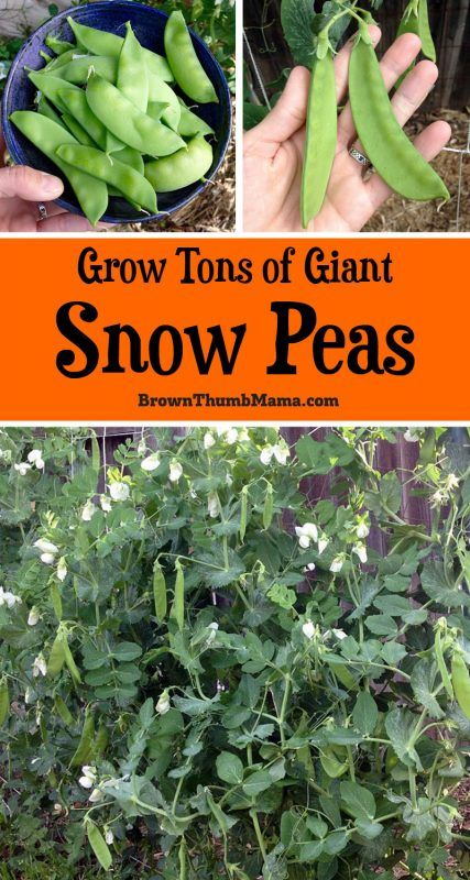 Snow peas are easy to grow and fun to eat. Here's everything you need to know about planting and growing snow peas in your #garden. #peas #snowpeas