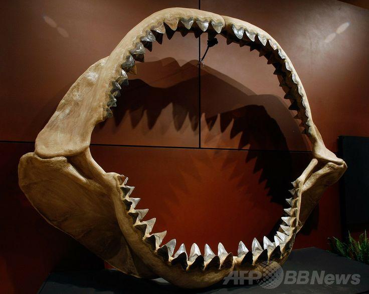 米ラスベガス(Nevada)で競売に掛けられた世界最大級のサメの顎の化石(2009年9月30日撮影、資料写真)。(c)AFP/Getty Images/Ethan Miller ▼21Apr2014AFP|サメは「生きた化石」ではなかった? 定説覆す化石発見 http://www.afpbb.com/articles/-/3012896