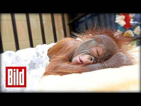 Orang-Utan-Baby wird von Ersatz-Mama aufgepäppelt / Zoo Krefeld - YouTube