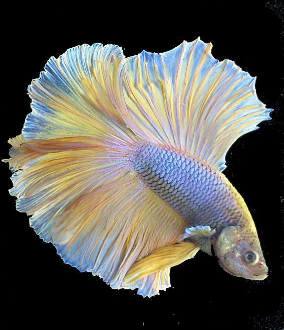 "The Siamese fighting fish, also known as the betta, is a species which is popular as an aquarium fish. This species is native to southeast Asia, where it can be found in standing waters of canals, rice paddies, and floodplains. They are called ""biting fish"". They tend to be rather aggressive. In January 2014 a large population of the fish was discovered in the Northern Territory, Australia. As an invasive species they pose a threat to native fish, frogs and other wildlife in the wetlands."