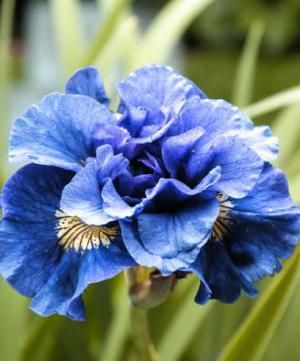 Iris sibirica 'Concord Crush'