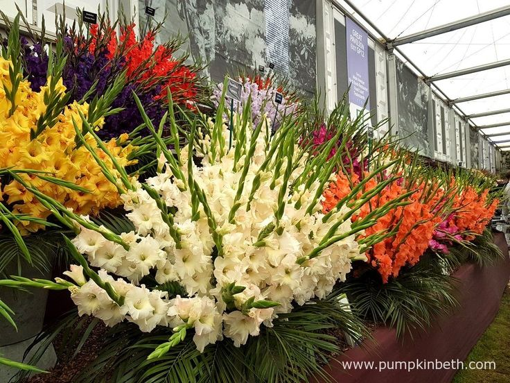 This glamorous display of Gladioli was grown by Pheasant Acre Plants for The RHS Chelsea Flower Show 2016.