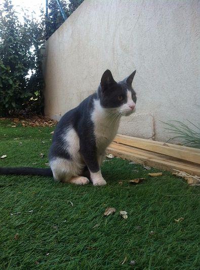 TIMINOU, chat un an à adopter à Roquebrune/A (83)