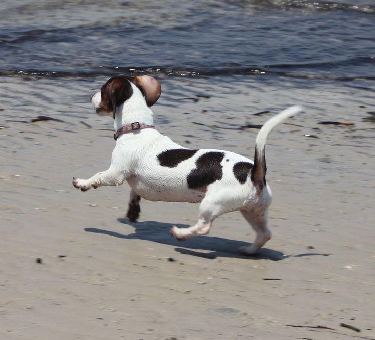 A dancing piebald dachshund machine!!